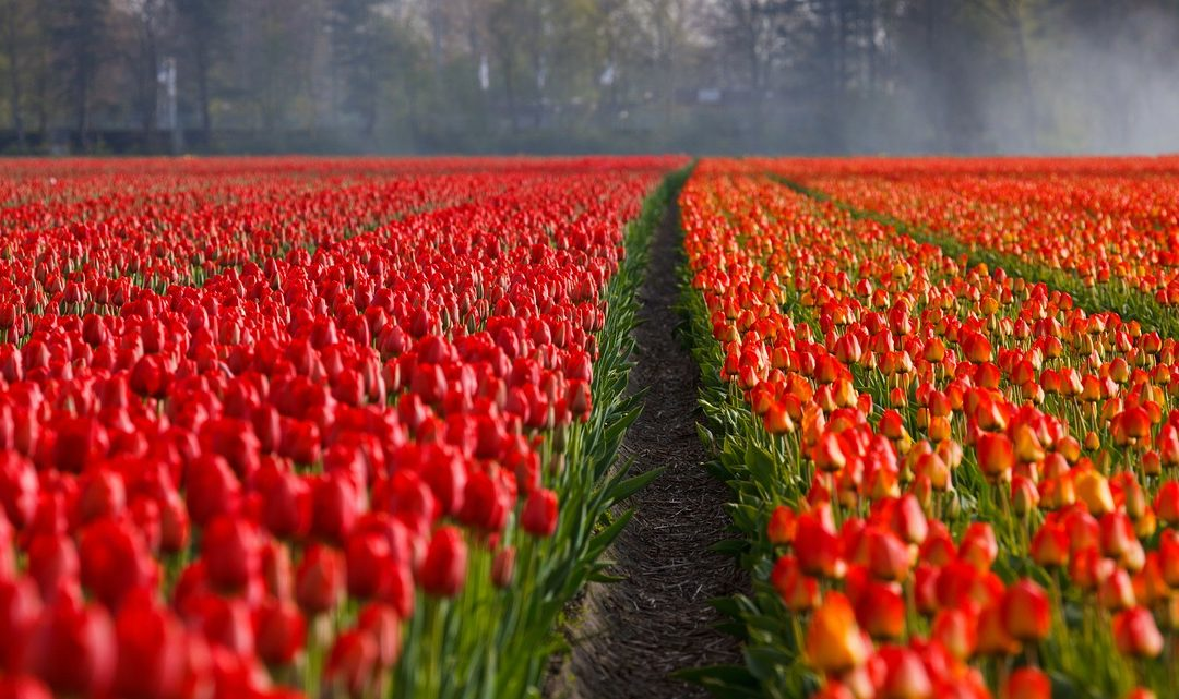 champ tulipes