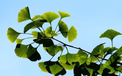 La plante du mois : le ginkgo biloba, conseils jardinage et découverte !