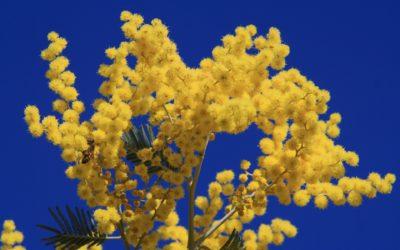 La plante du mois : le mimosa, conseils jardinage et découverte !