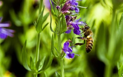 L'hysope officinale, conseils d'entretien et cuisine pour votre plante