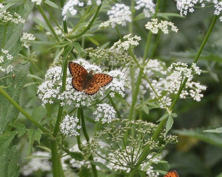 achillee papillon plante box printemps