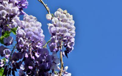 La plante du mois : la glycine, conseils jardinage et découverte !