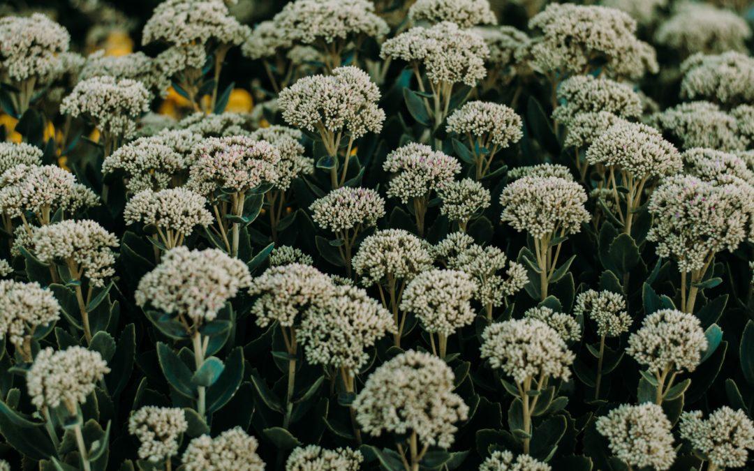 achillee noble plante fleurie la pousse verte
