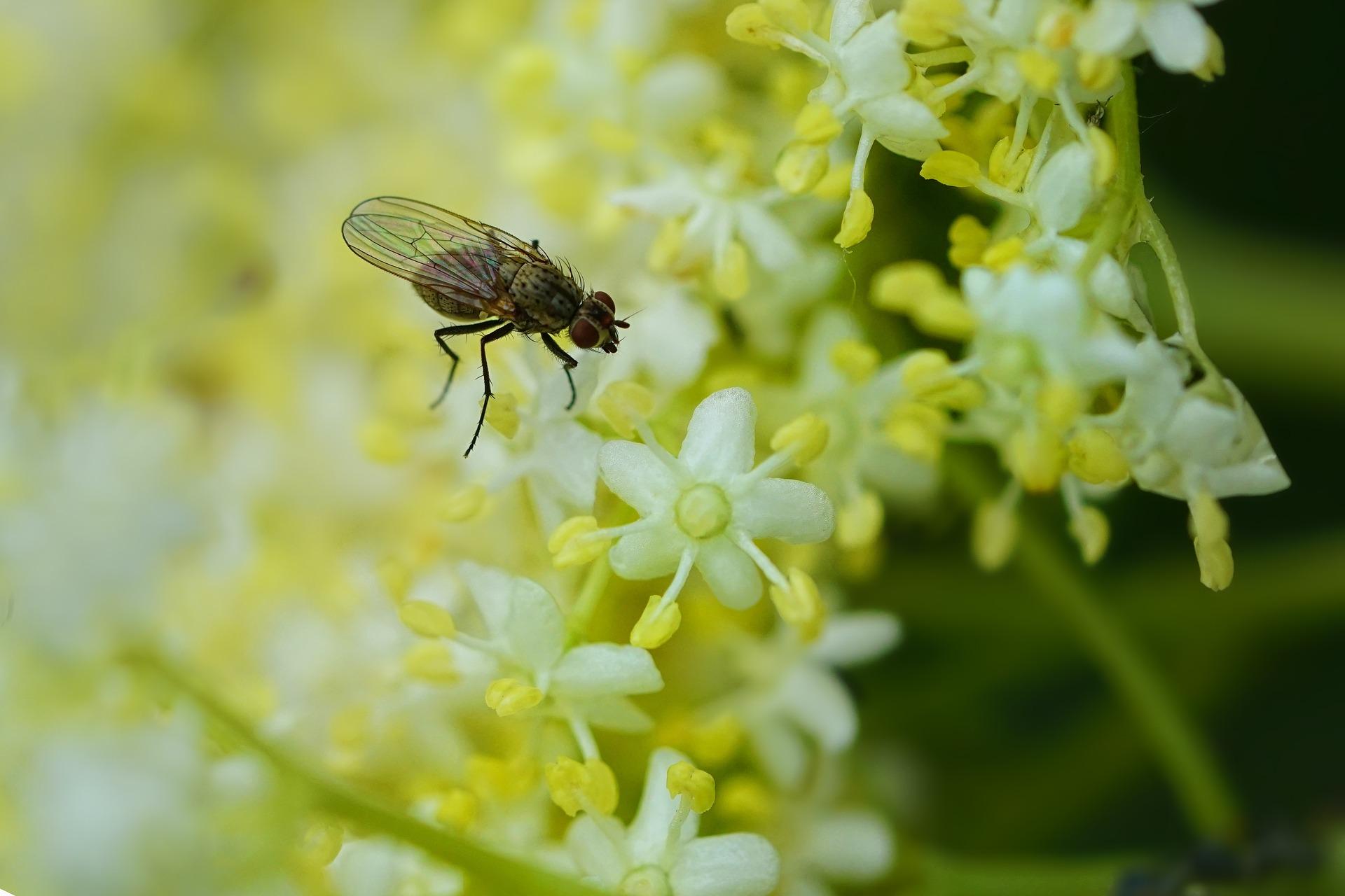 sureau ,plante du mois, mai, insecte, abeille