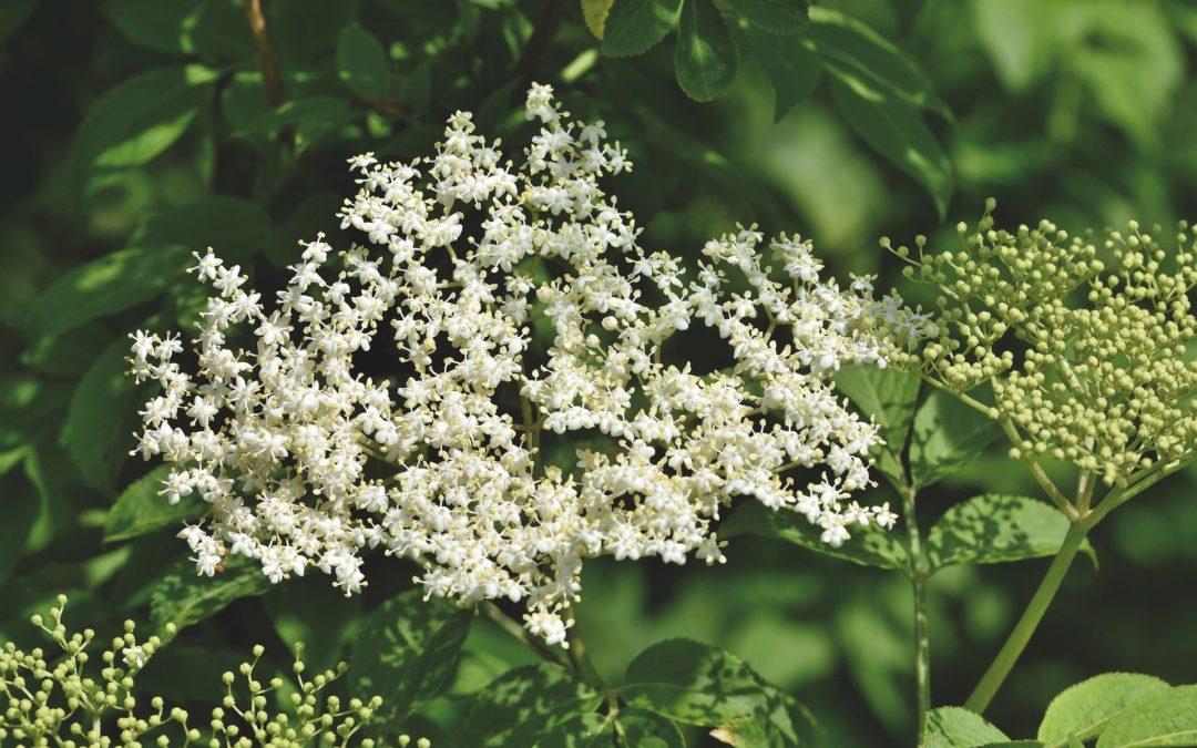 La plante du mois : le sureau, conseils jardinage et cuisine !