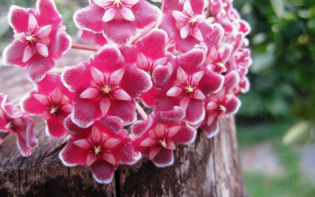 hoya plante fleurs rose