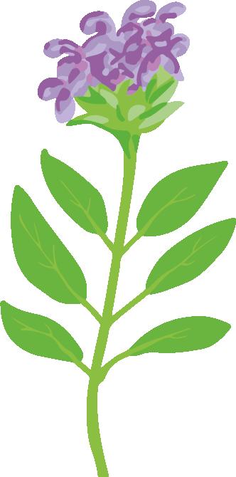 brunelle plante fleurie vivace