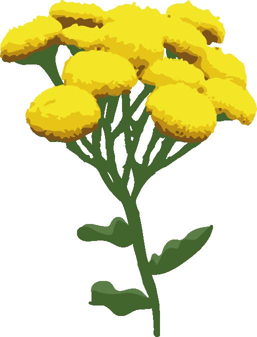 tanaisie plante fleur box