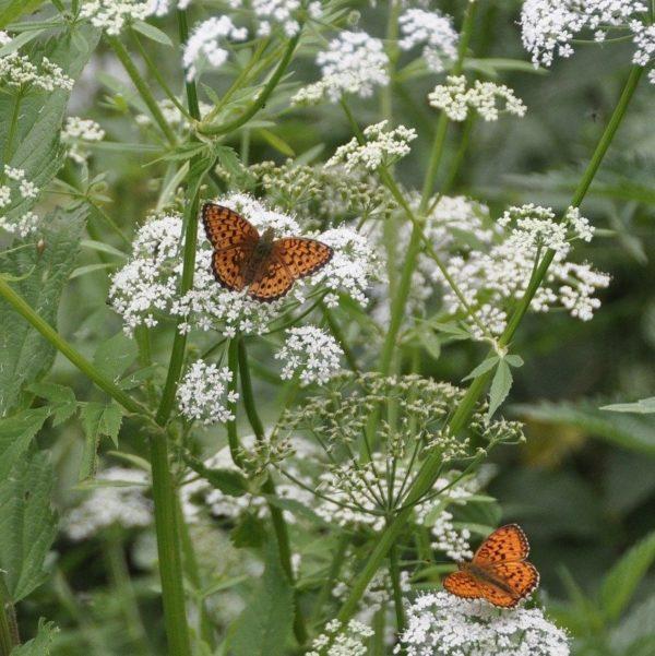 achillee noble plante papillon