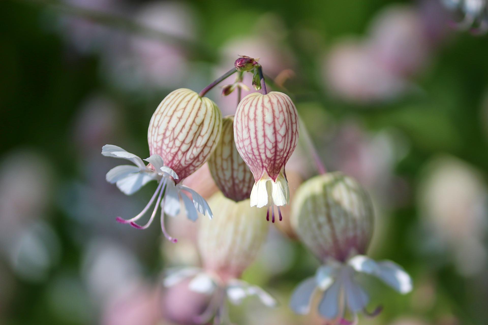 sileine enflé, conseils jardinage, la pousse verte