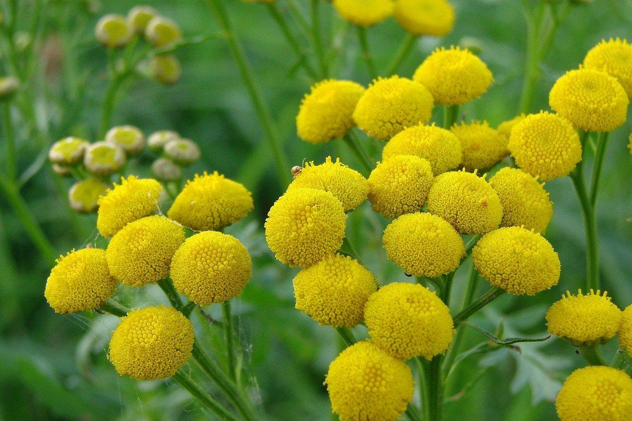 tanaisie plante fleurie la pousse verte