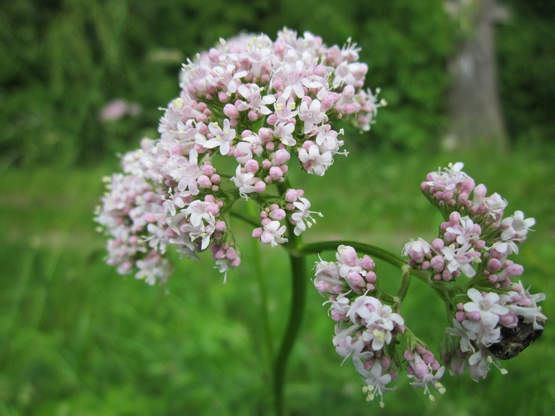 valériane, conseils jardinage, la pousse verte