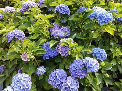 hortensia bleu bosquet
