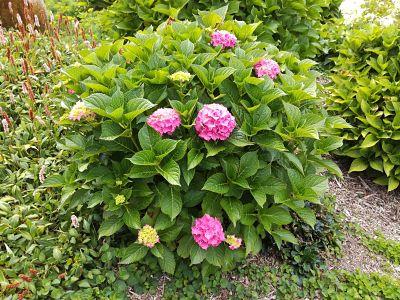 hortensia rose buisson
