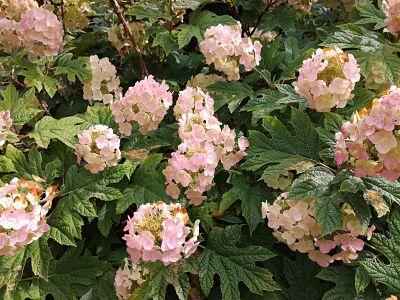 hortensia rose feuilles ciselees