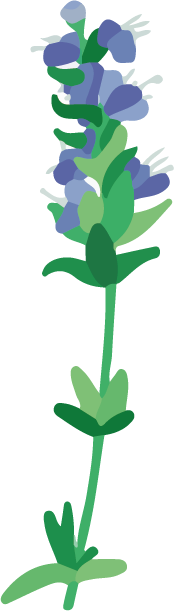 hysope officinale plante dessin