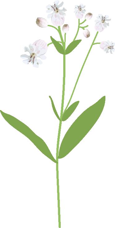 silene enfle plante dessin