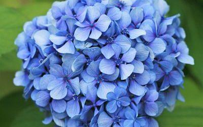 La plante du mois : l'hortensia, conseils jardinage et anecdotes