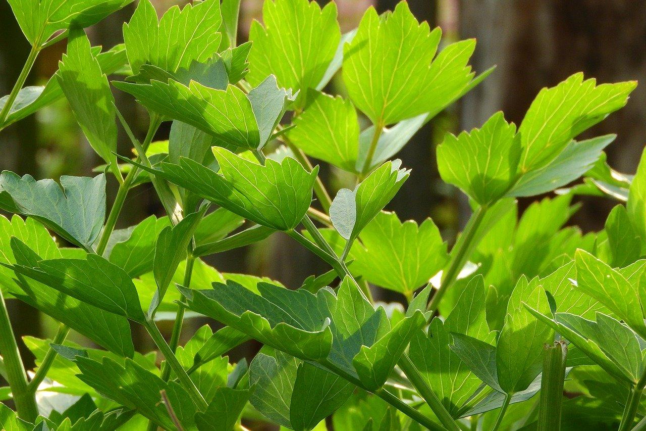 liveche feuilles