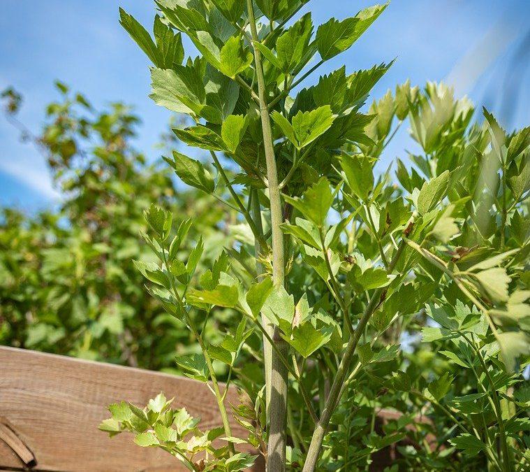 liveche plante aromatique