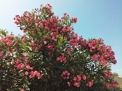 laurier rose fleurs