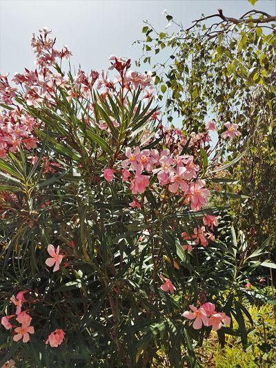 laurier rose saule