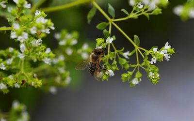 L'origan crétois : conseils jardinage