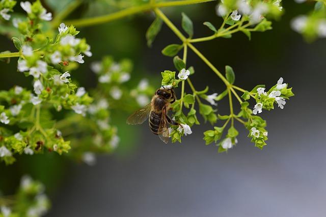 origan fleurs abeille