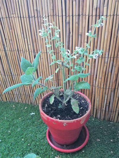 plante sauge sclaree jardinage comestible