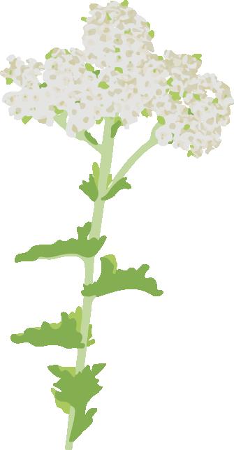 achillee noble plante vivace