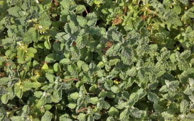 Le marrube : conseils jardinage – plante médicinale