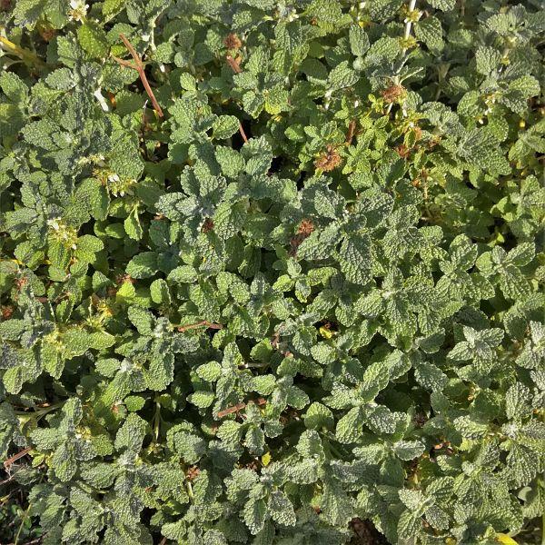 marrube box plantes fleurs