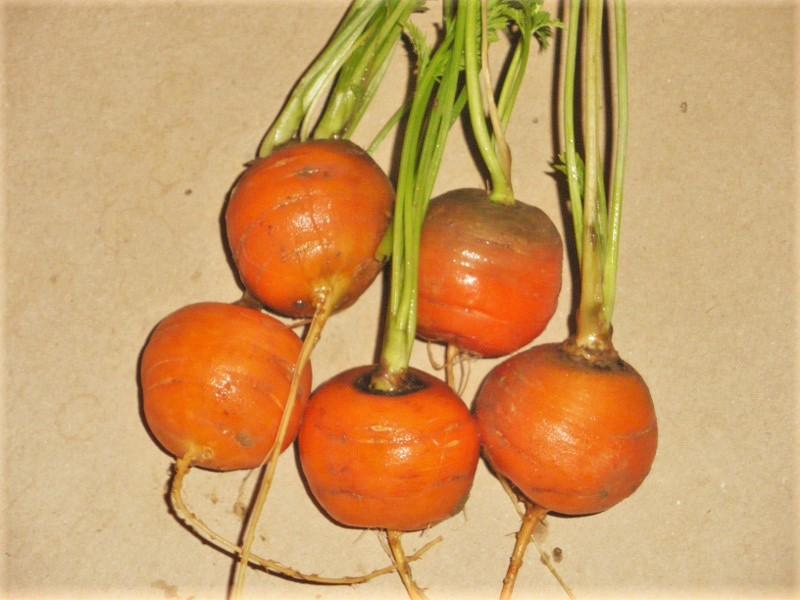 carotte ronde de paris conseils jardinage