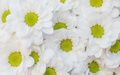 La camomille romaine double : conseils jardinage