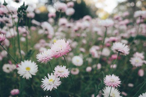 camomille romaine double fleurs jardinage