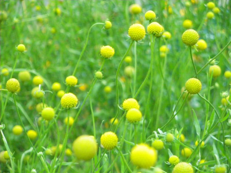 cephalophora plante ananas jardinage