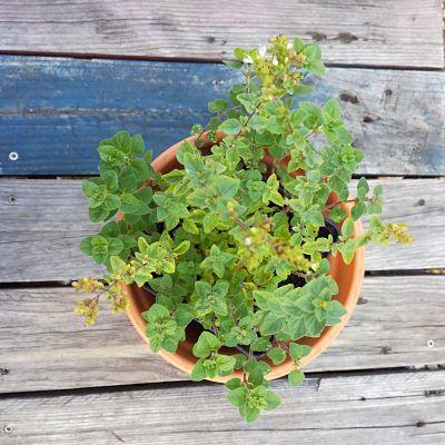 origan crétois box plante automne