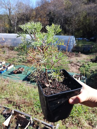 arquebuse jardinage plante aurone