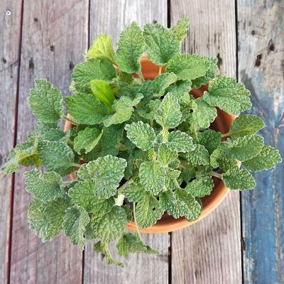 marrube plante box automne