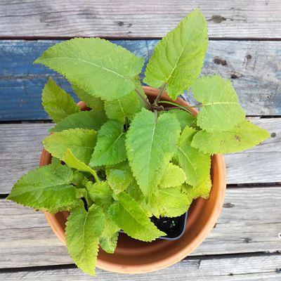 sauge glutineuse box plante automne