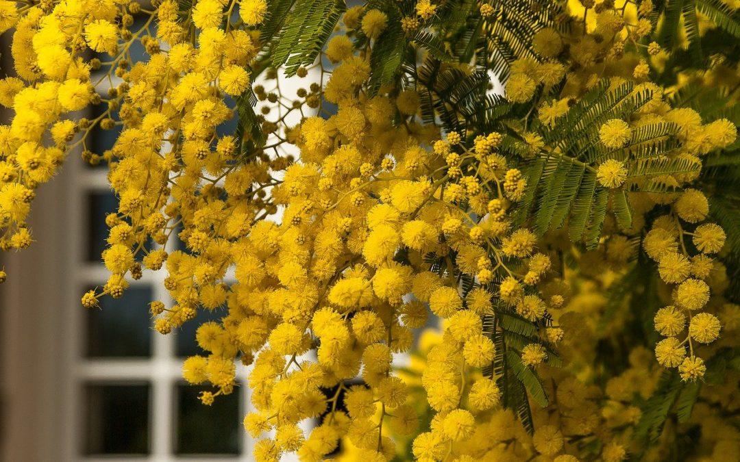 La plante du mois : le mimosa, conseils jardinage et découverte