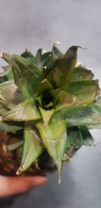 ananas bouture plante
