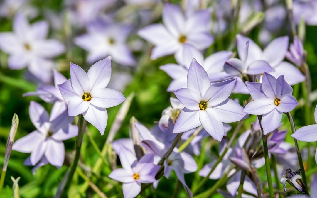 ipheion plante conseils jardinage