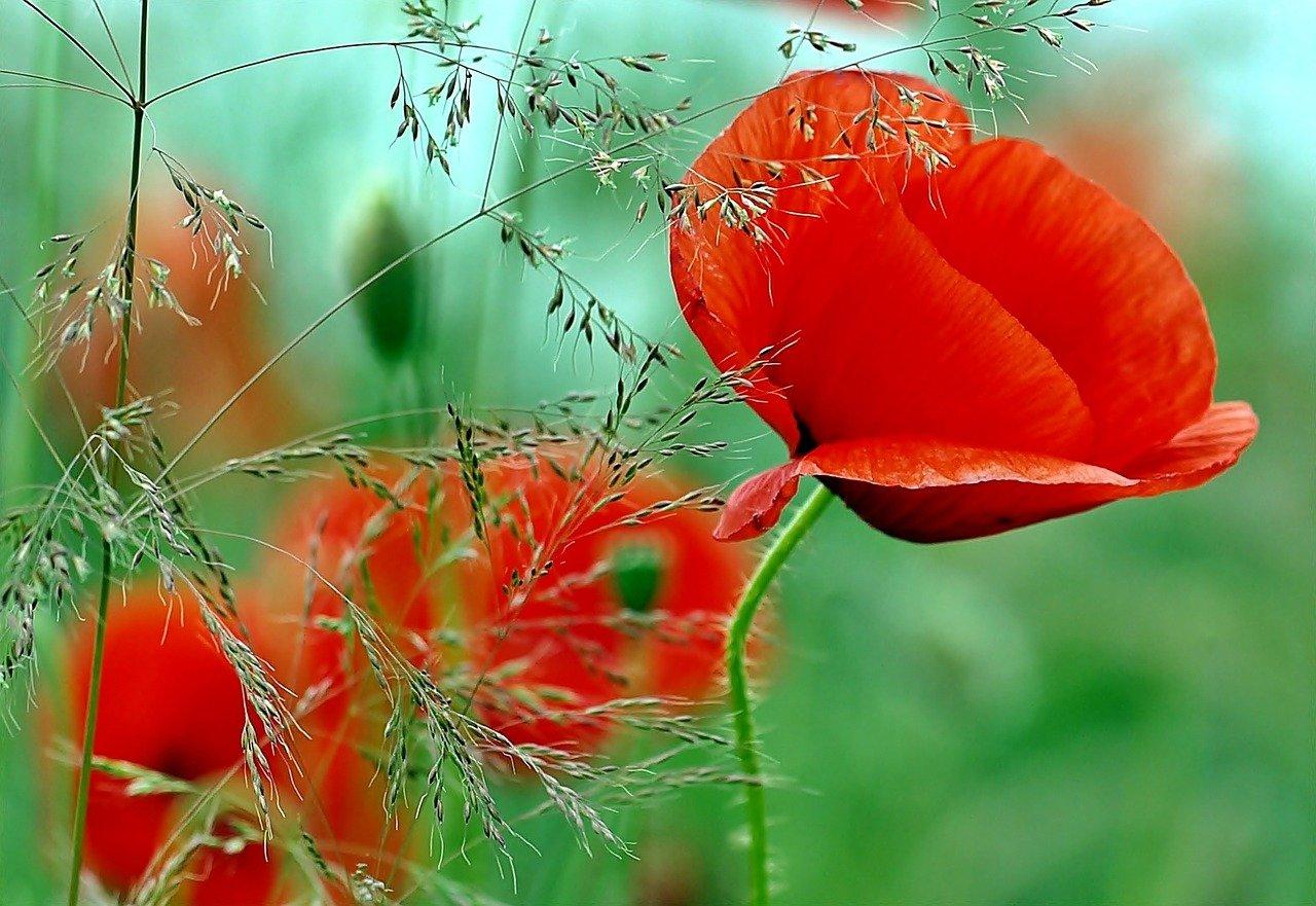 coquelicot fleurs plante semis jardinage
