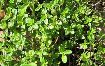 Le thym citron : conseils jardinage