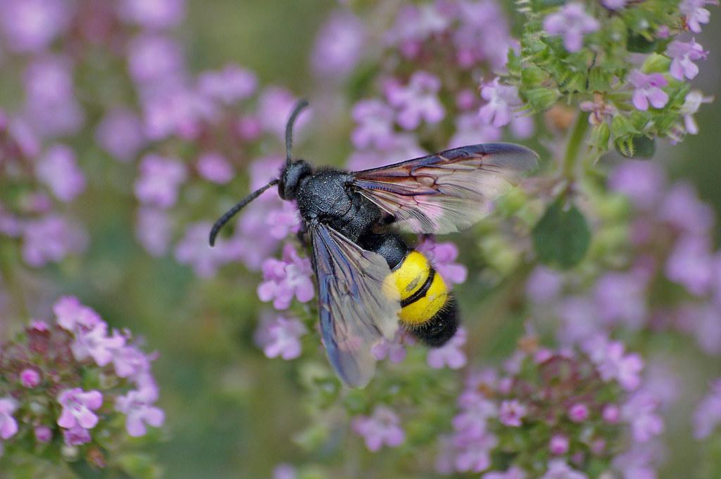 thym citron jardinage abeille fleurs