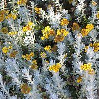 helichryse cadeau jardinage plante curry