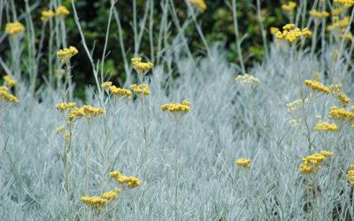 L'hélichryse : conseils jardinage pour votre plante curry
