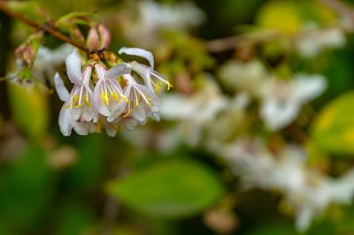 chèvrefeuille plante jardinage parfum