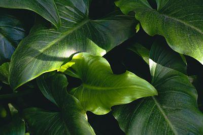 taro plante ornementale